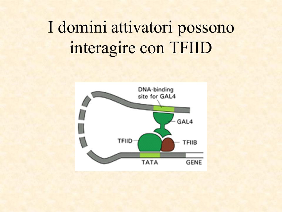 I domini attivatori possono interagire con TFIID