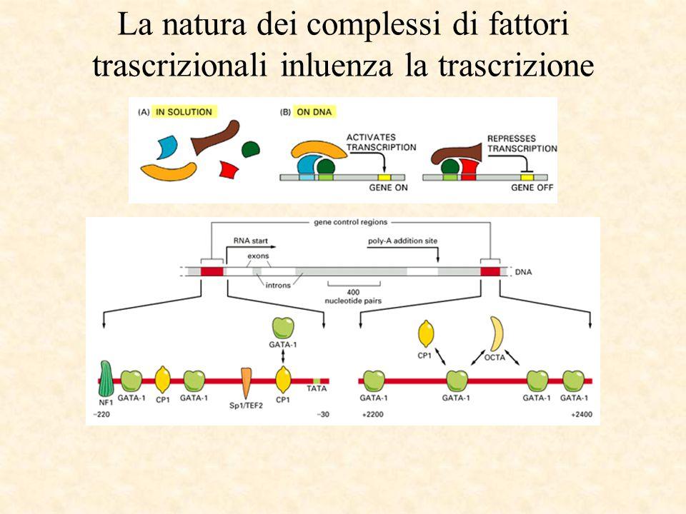La natura dei complessi di fattori trascrizionali inluenza la trascrizione