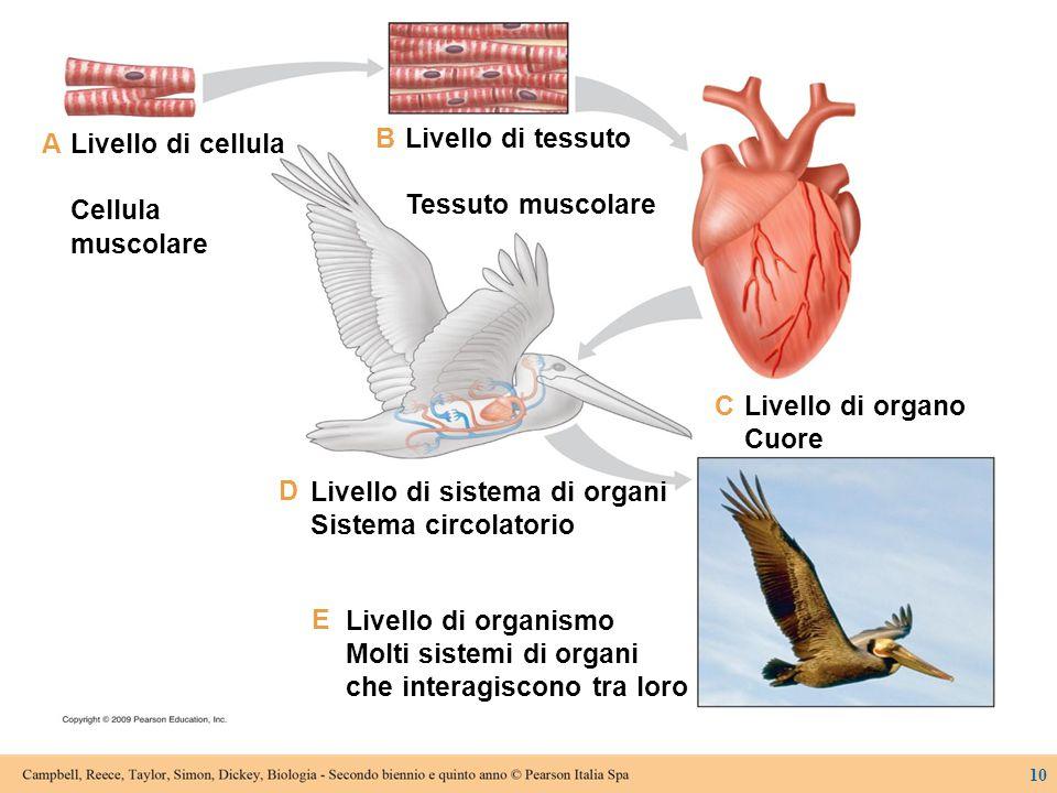 Livello di sistema di organi Sistema circolatorio