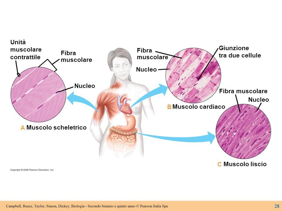 Unità muscolare Giunzione contrattile Fibra tra due cellule Fibra