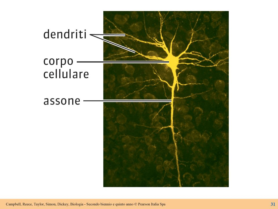 Figure 20.7 Neurons in the spinal cord.