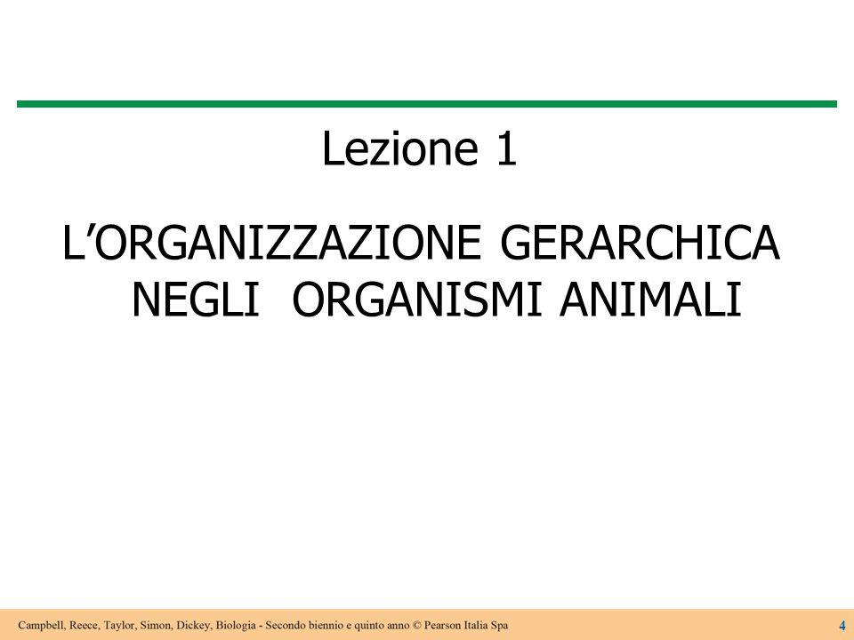 Lezione 1 L'ORGANIZZAZIONE GERARCHICA NEGLI ORGANISMI ANIMALI