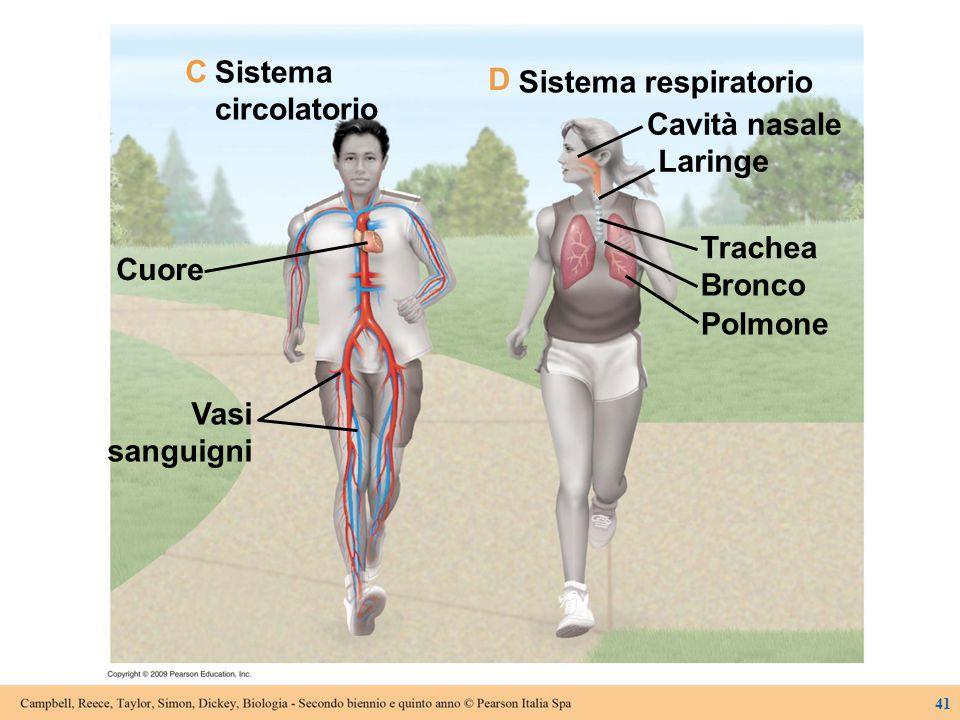 Sistema circolatorio Cuore Vasi sanguigni Sistema respiratorio