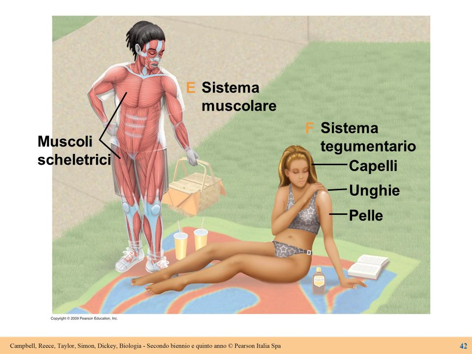 Sistema muscolare tegumentario Capelli Unghie Pelle Muscoli