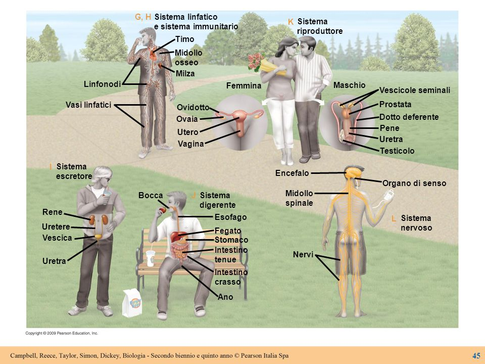 Sistema linfatico e sistema immunitario. G, H. Timo. Midollo. osseo. Milza. Ovidotto. Ovaia.
