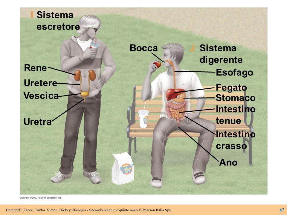Sistema escretore Esofago Fegato Stomaco Intestino tenue digerente