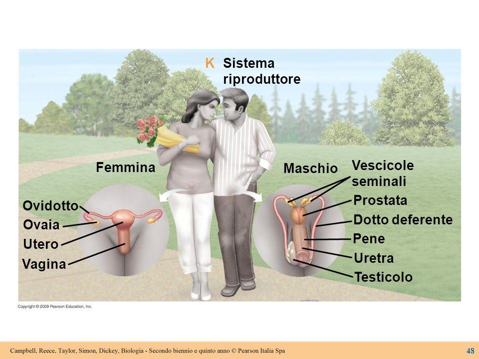 K Sistema riproduttore Femmina Vescicole seminali Maschio Prostata