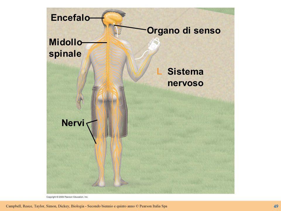 Encefalo Organo di senso Midollo spinale Sistema nervoso Nervi L