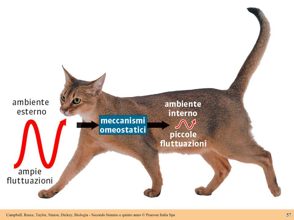 Figura 8.14A Un modello dell'omeostasi.