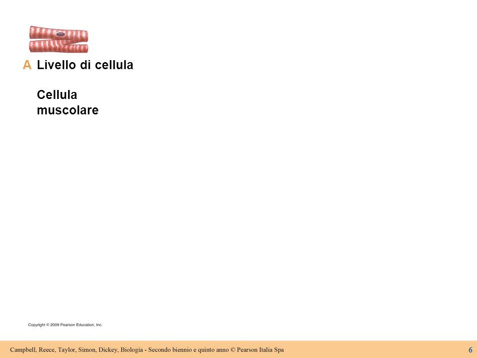 Livello di cellula Cellula muscolare A