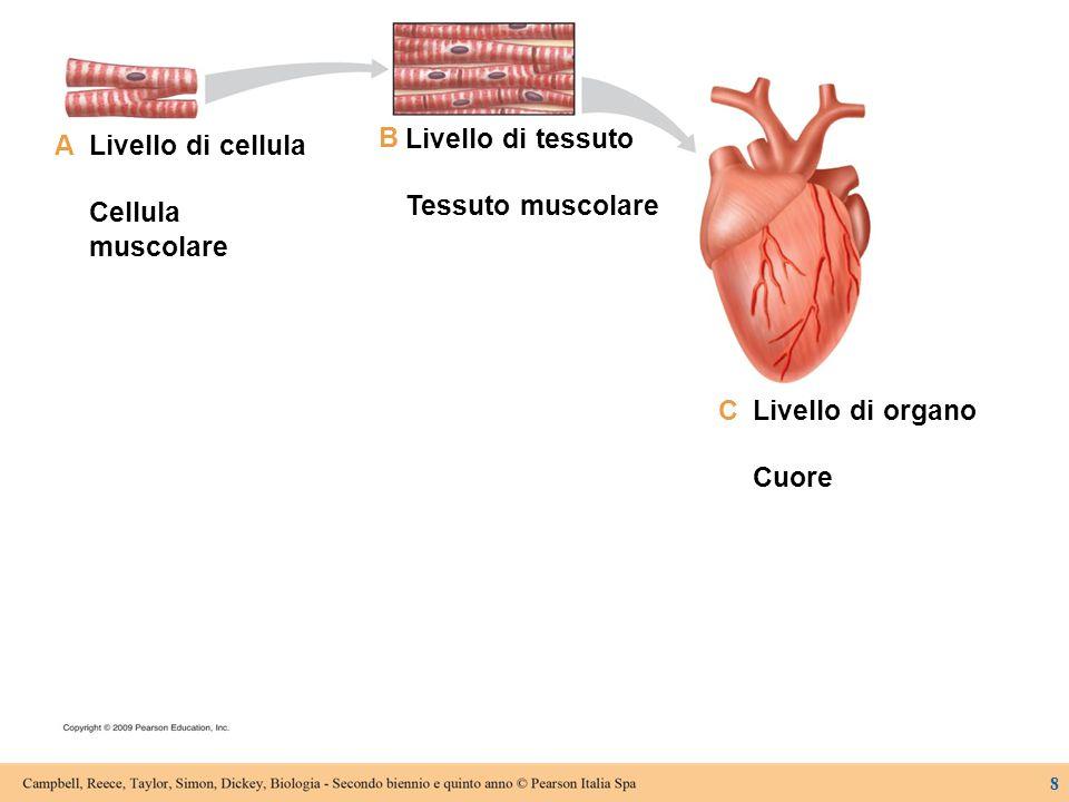Livello di cellula Cellula muscolare Livello di tessuto