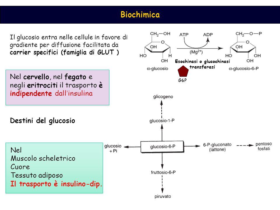 Esochinasi o glucochinasi