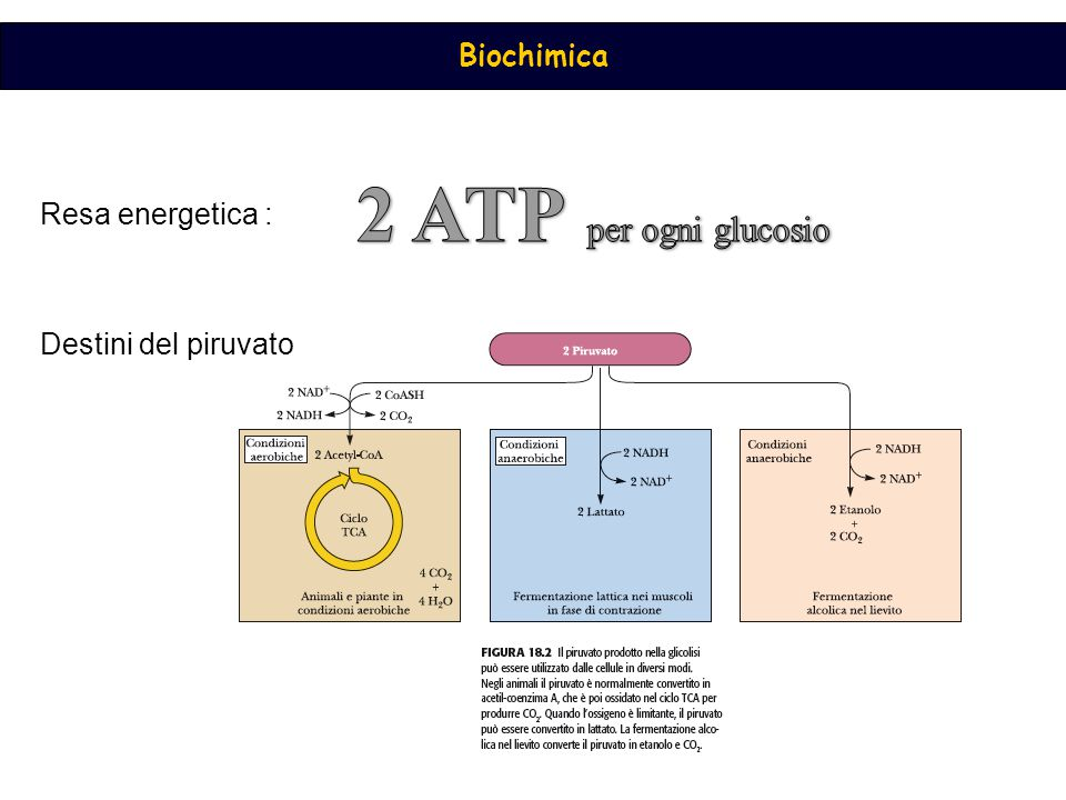 2 ATP per ogni glucosio Resa energetica : Destini del piruvato