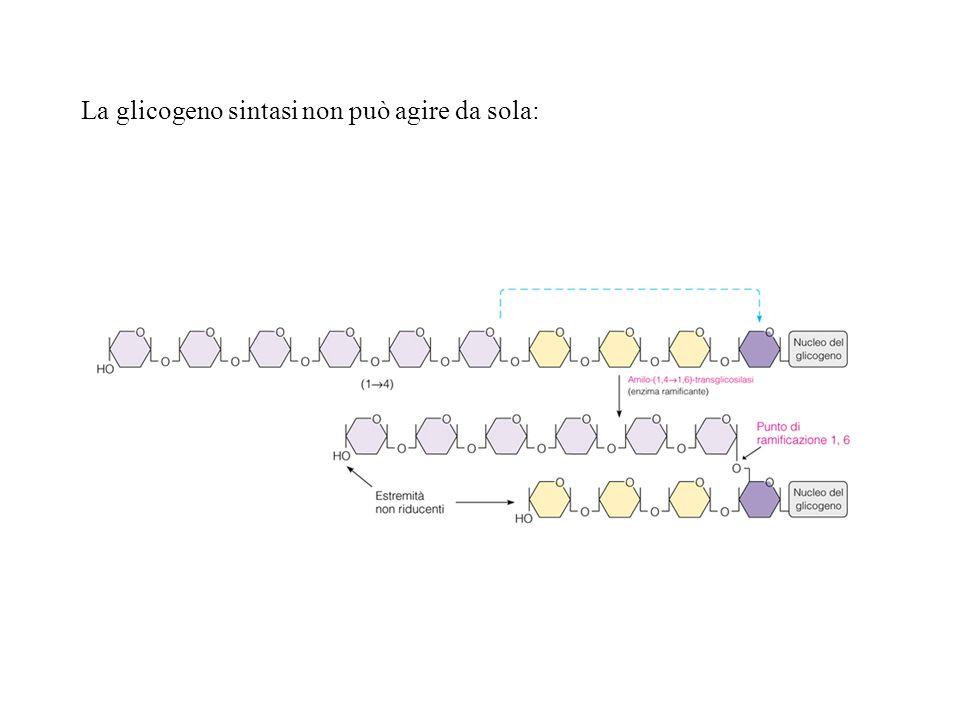 La glicogeno sintasi non può agire da sola:
