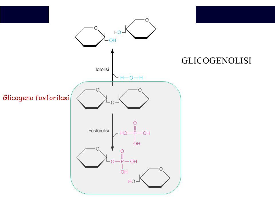 GLICOGENOLISI Glicogeno fosforilasi