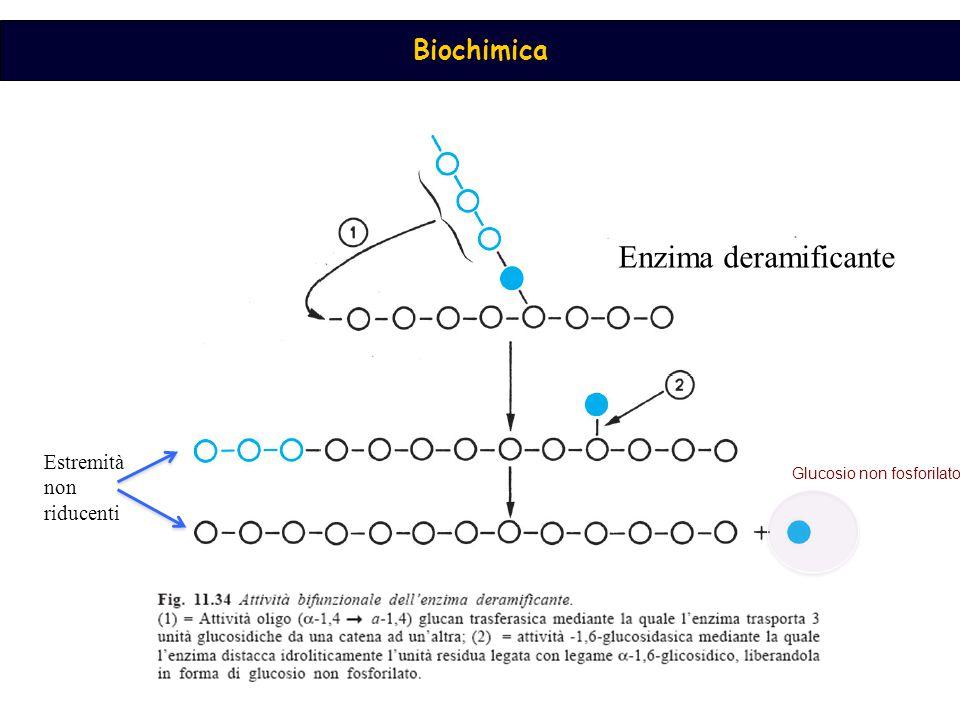 Enzima deramificante Estremità non riducenti Glucosio non fosforilato