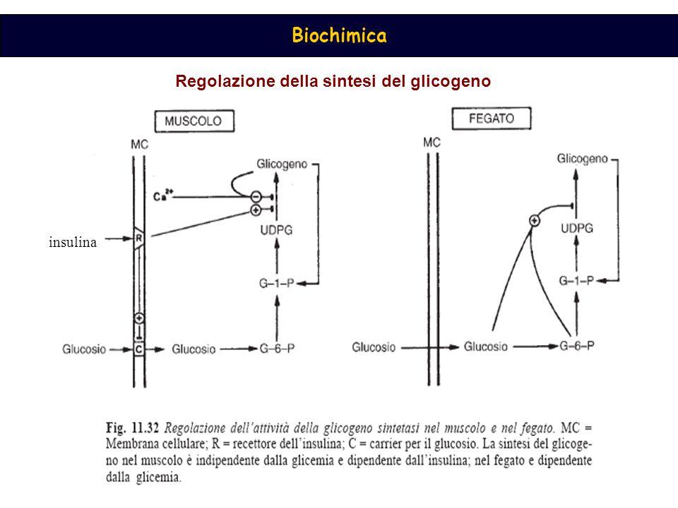 Regolazione della sintesi del glicogeno