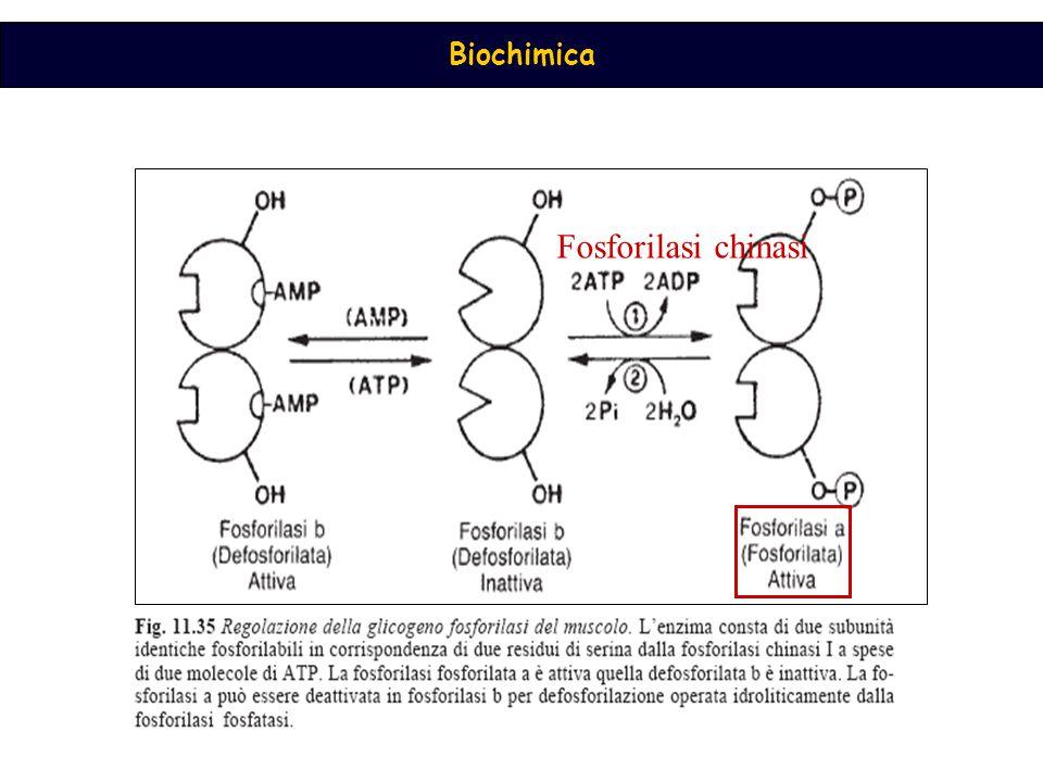 Fosforilasi chinasi