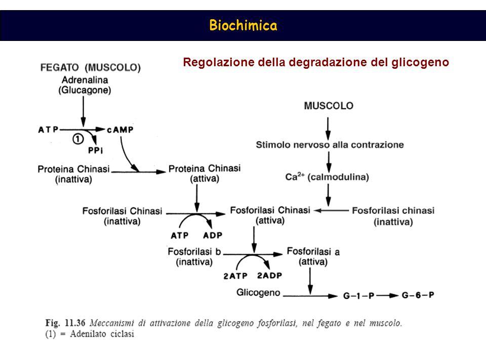 Regolazione della degradazione del glicogeno