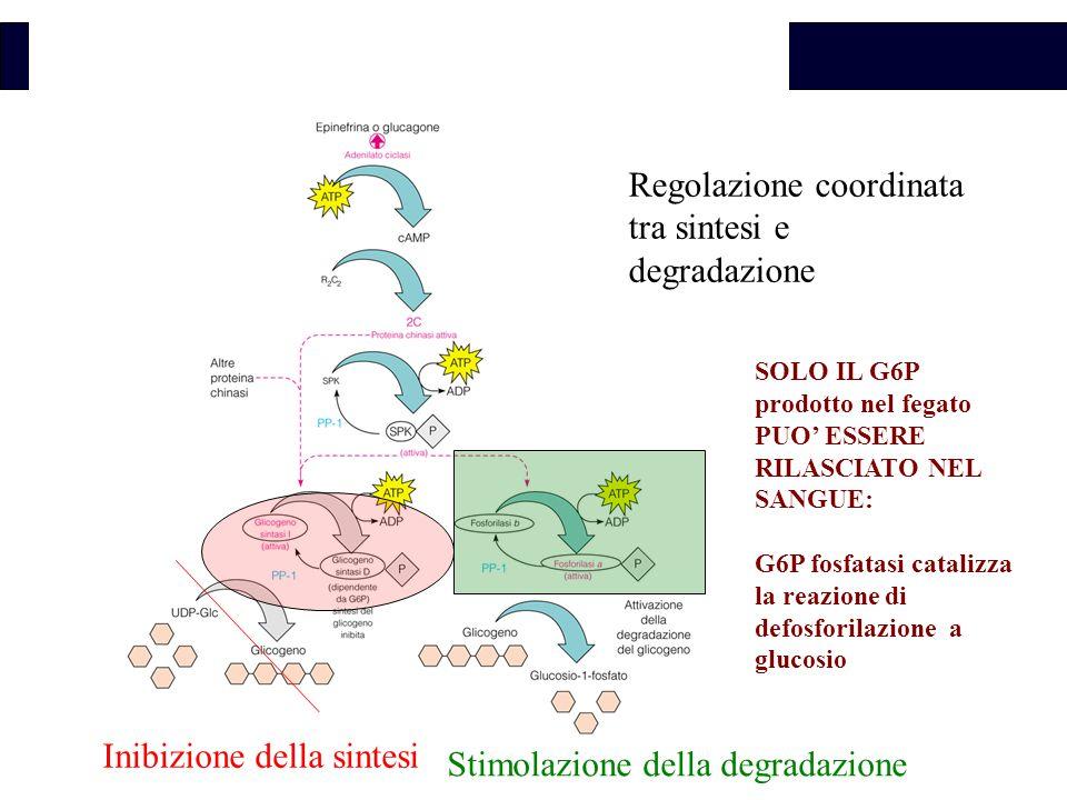 Regolazione coordinata tra sintesi e degradazione