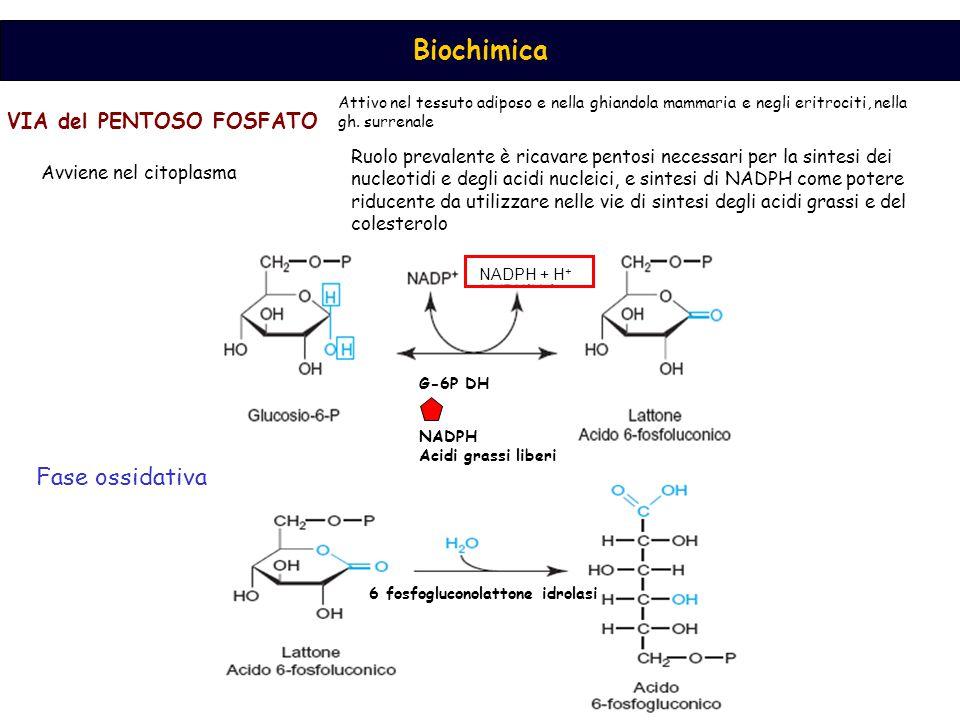 Fase ossidativa VIA del PENTOSO FOSFATO