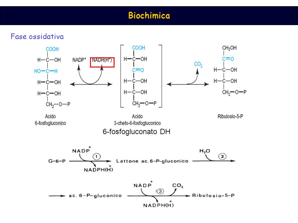 Fase ossidativa 6-fosfogluconato DH