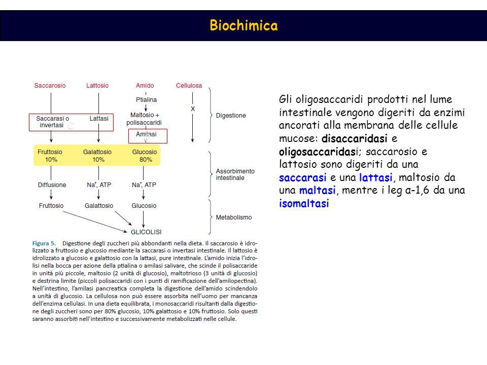 Gli oligosaccaridi prodotti nel lume intestinale vengono digeriti da enzimi ancorati alla membrana delle cellule mucose: disaccaridasi e oligosaccaridasi; saccarosio e lattosio sono digeriti da una saccarasi e una lattasi, maltosio da una maltasi, mentre i leg α-1,6 da una isomaltasi