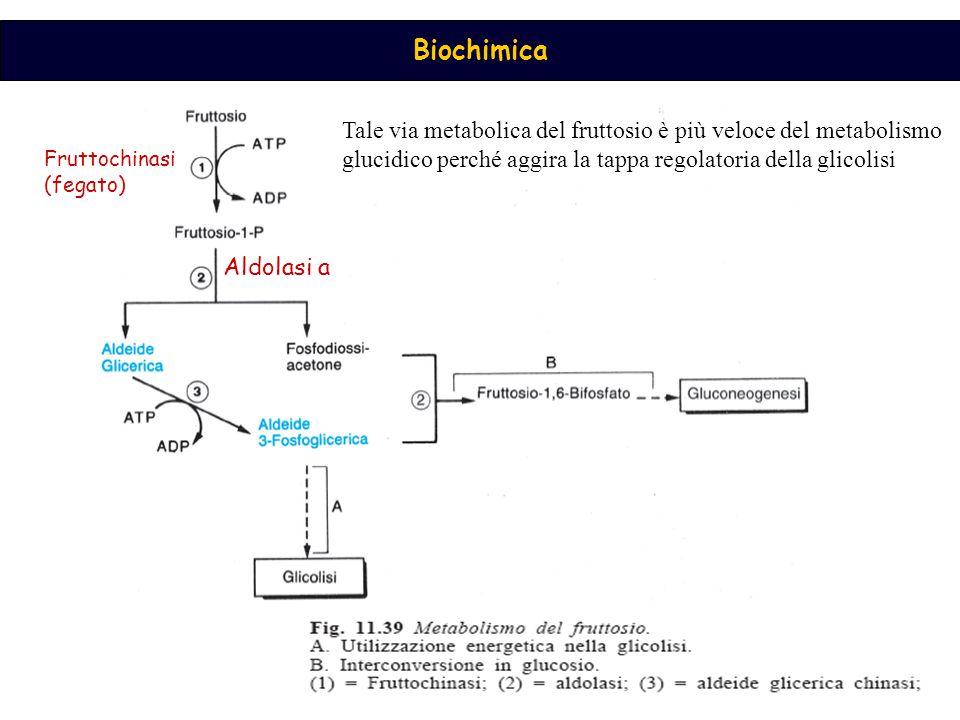 Tale via metabolica del fruttosio è più veloce del metabolismo glucidico perché aggira la tappa regolatoria della glicolisi