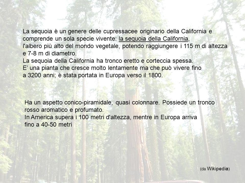 La sequoia della California ha tronco eretto e corteccia spessa.
