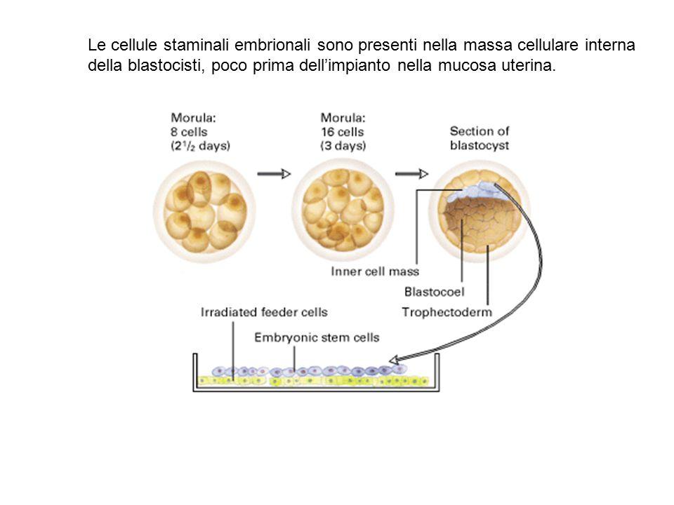 Le cellule staminali embrionali sono presenti nella massa cellulare interna