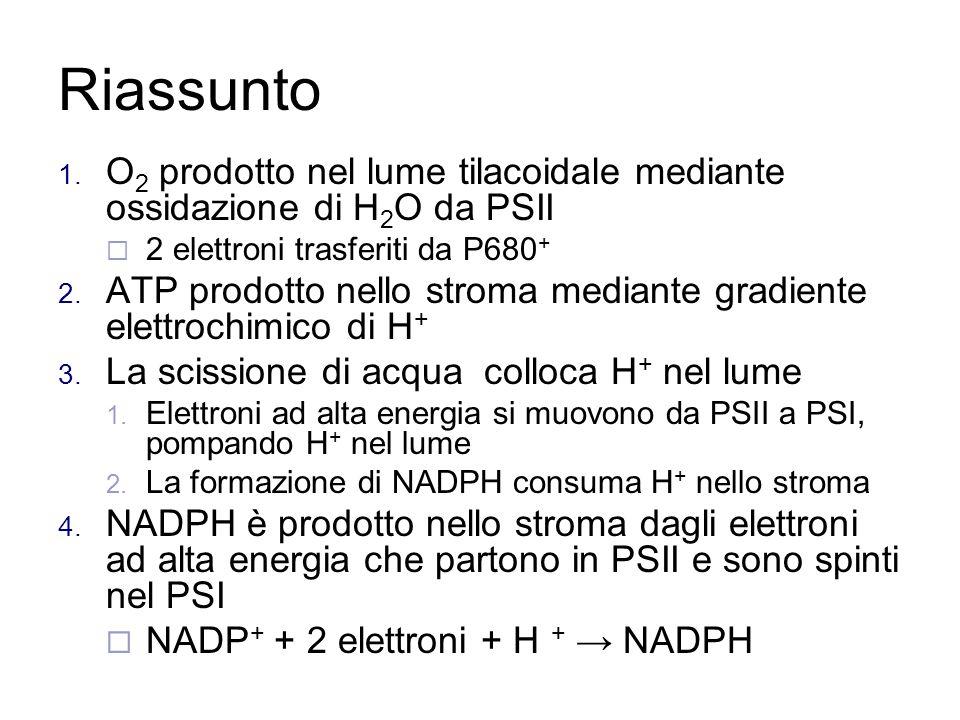Riassunto O2 prodotto nel lume tilacoidale mediante ossidazione di H2O da PSII. 2 elettroni trasferiti da P680+
