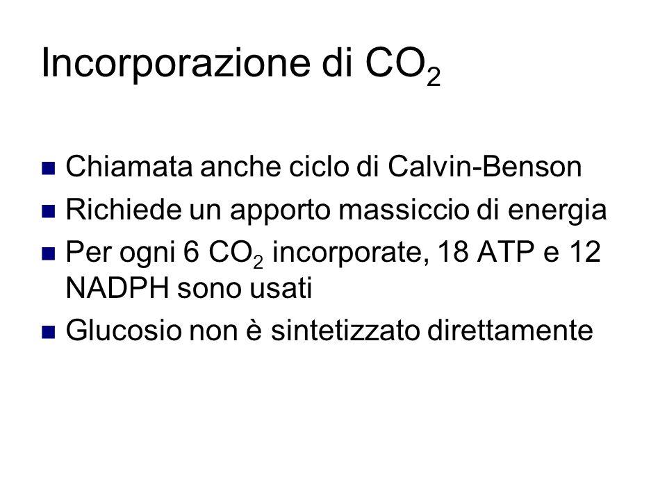 Incorporazione di CO2 Chiamata anche ciclo di Calvin-Benson