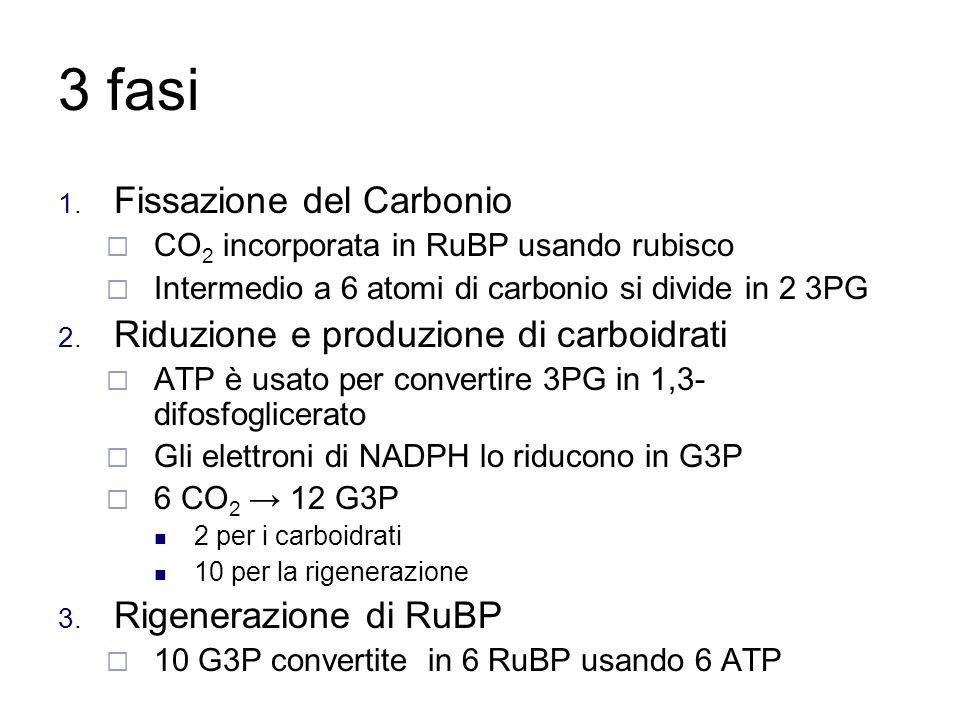3 fasi Fissazione del Carbonio Riduzione e produzione di carboidrati