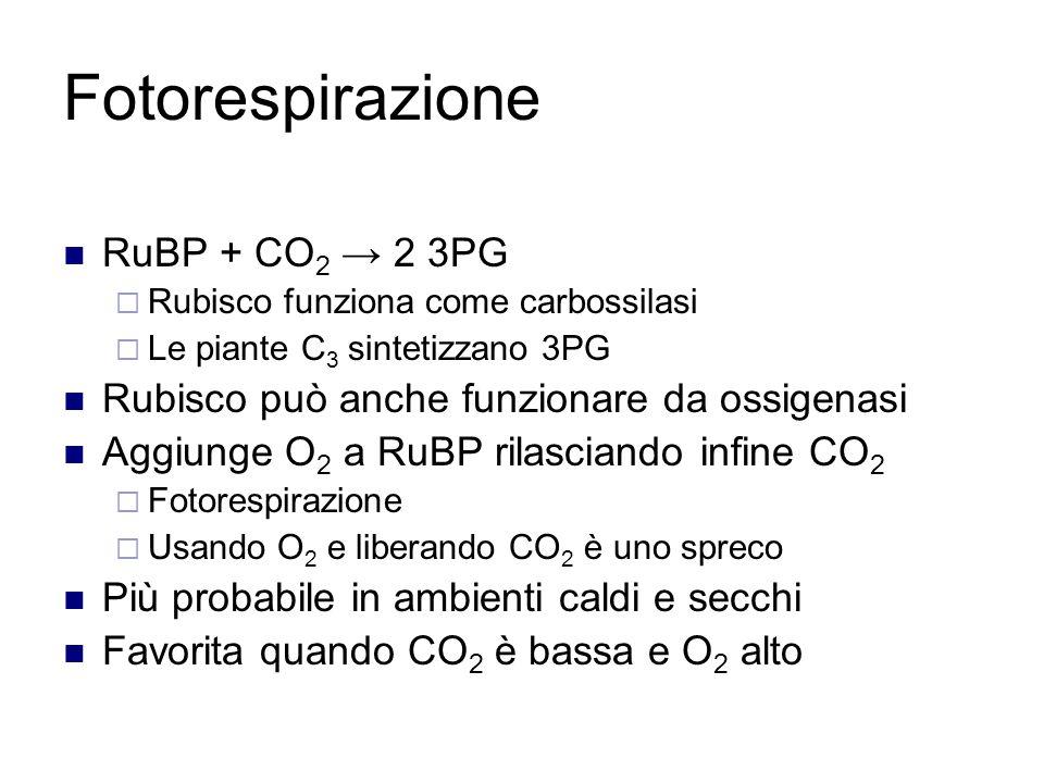 Fotorespirazione RuBP + CO2 → 2 3PG