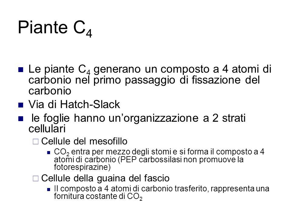 Piante C4 Le piante C4 generano un composto a 4 atomi di carbonio nel primo passaggio di fissazione del carbonio.
