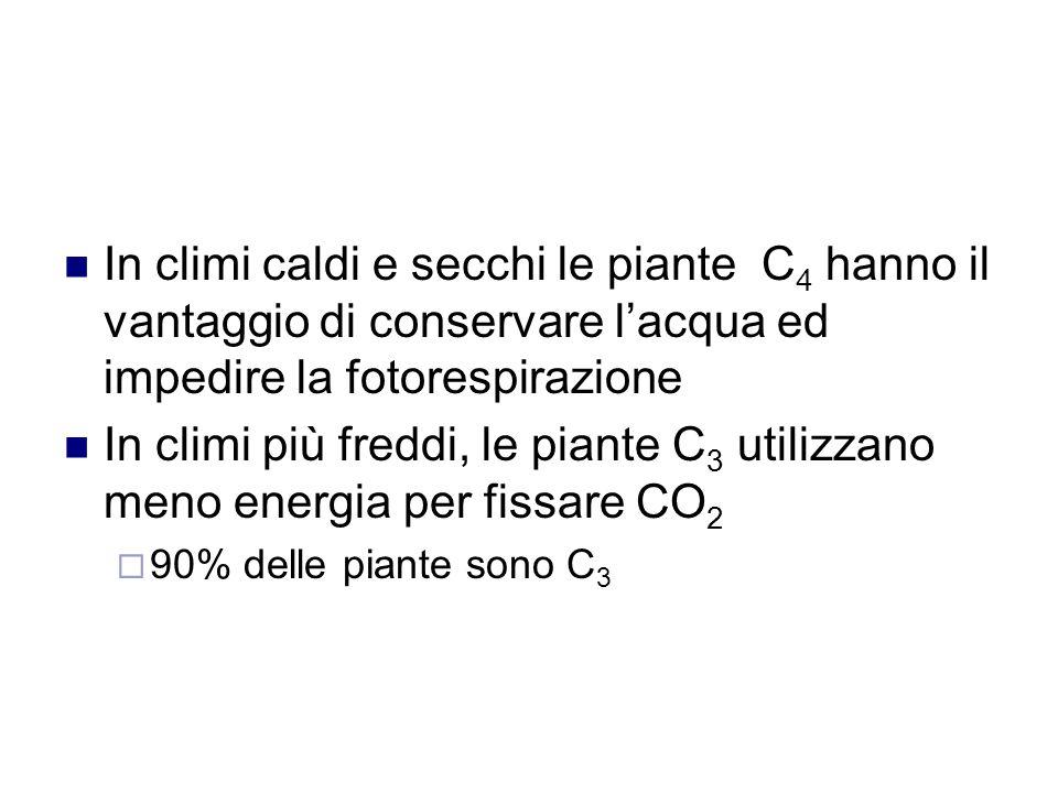 In climi caldi e secchi le piante C4 hanno il vantaggio di conservare l'acqua ed impedire la fotorespirazione