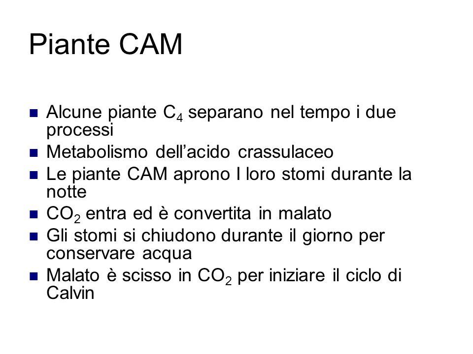 Piante CAM Alcune piante C4 separano nel tempo i due processi