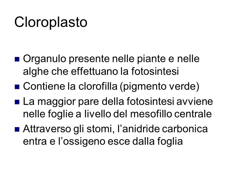 Cloroplasto Organulo presente nelle piante e nelle alghe che effettuano la fotosintesi. Contiene la clorofilla (pigmento verde)