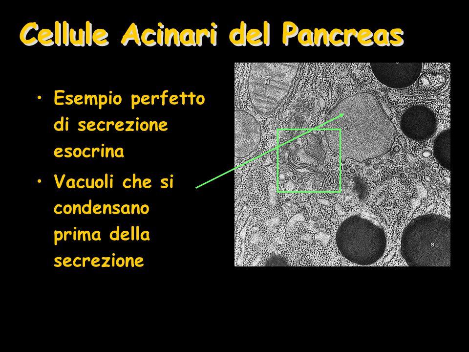 Cellule Acinari del Pancreas