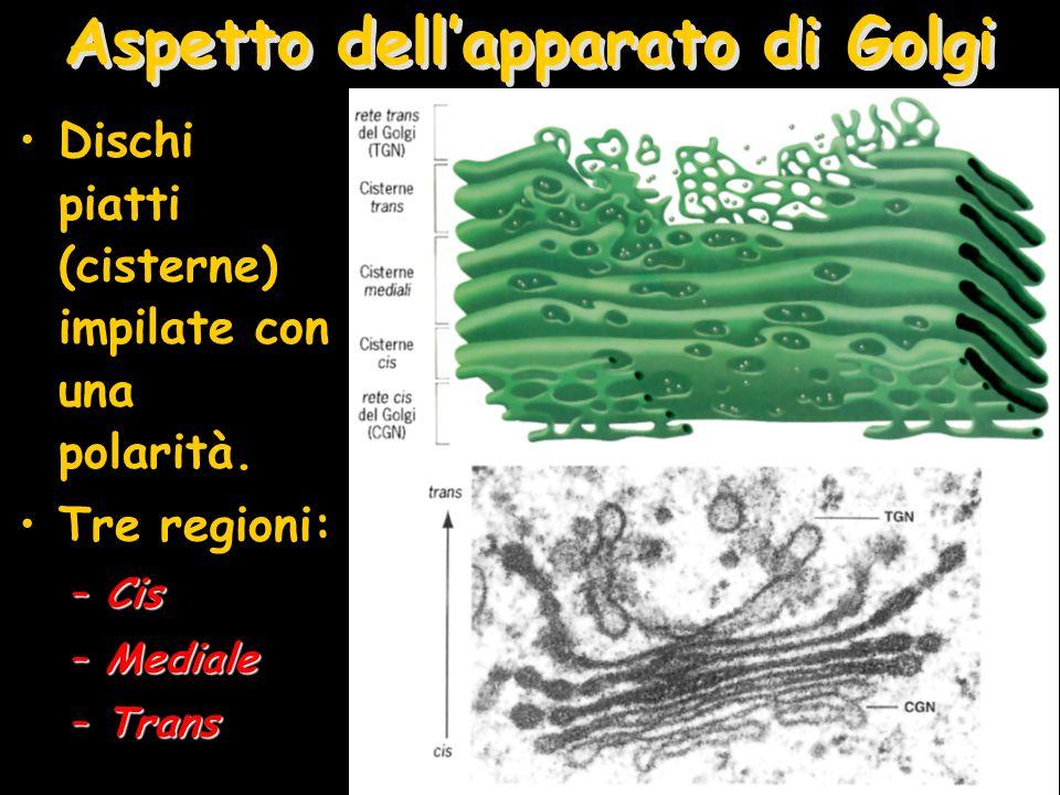 Aspetto dell'apparato di Golgi