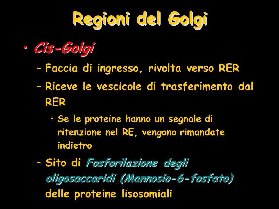 Regioni del Golgi Cis-Golgi Faccia di ingresso, rivolta verso RER