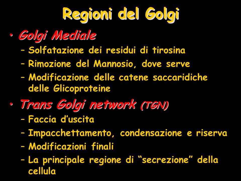 Regioni del Golgi Golgi Mediale Trans Golgi network (TGN)