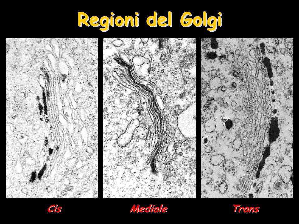Regioni del Golgi Cis Mediale Trans
