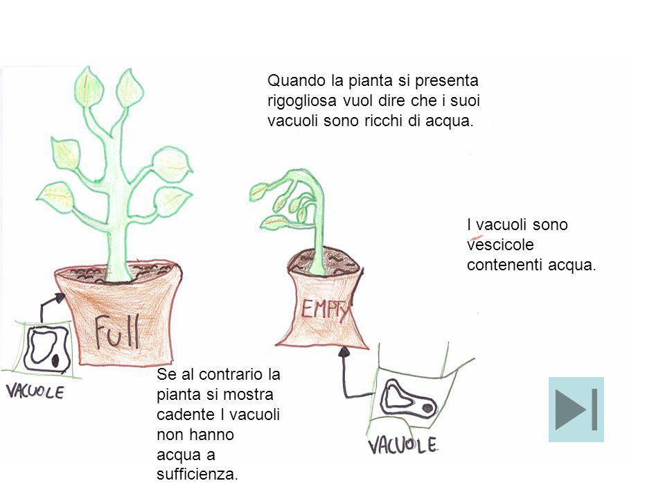 Quando la pianta si presenta rigogliosa vuol dire che i suoi vacuoli sono ricchi di acqua.
