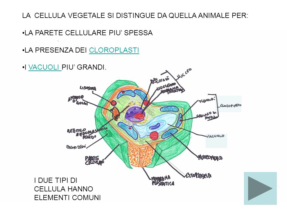 LA CELLULA VEGETALE SI DISTINGUE DA QUELLA ANIMALE PER: