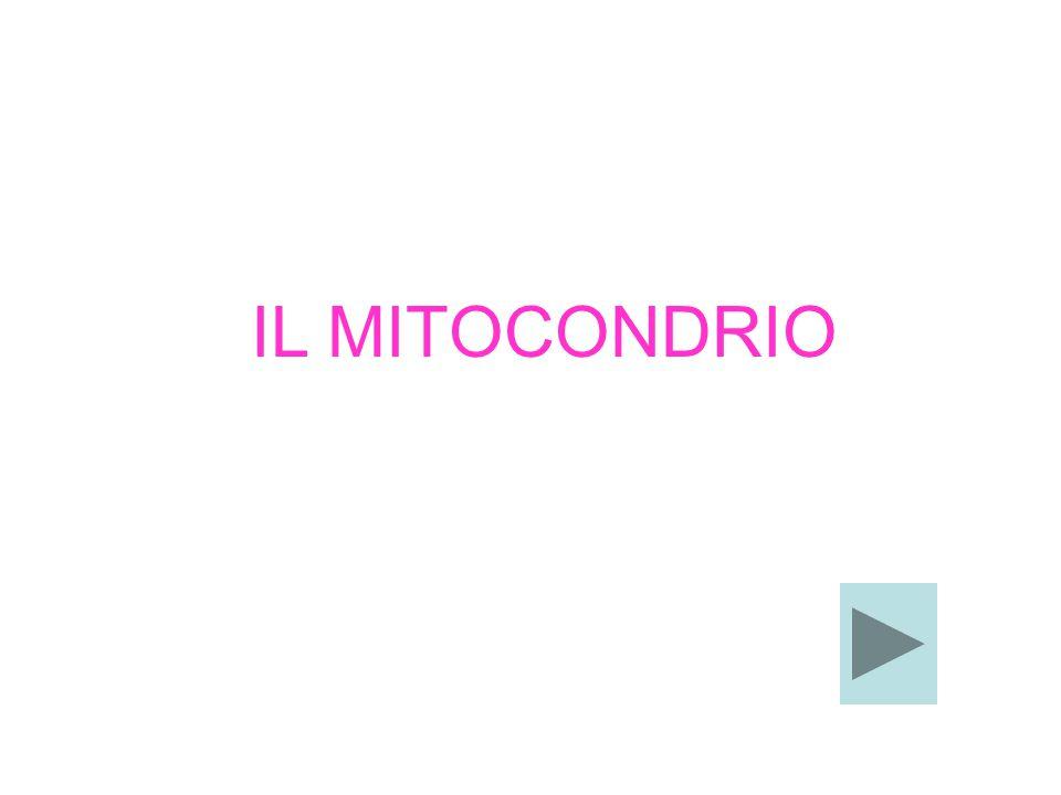 IL MITOCONDRIO