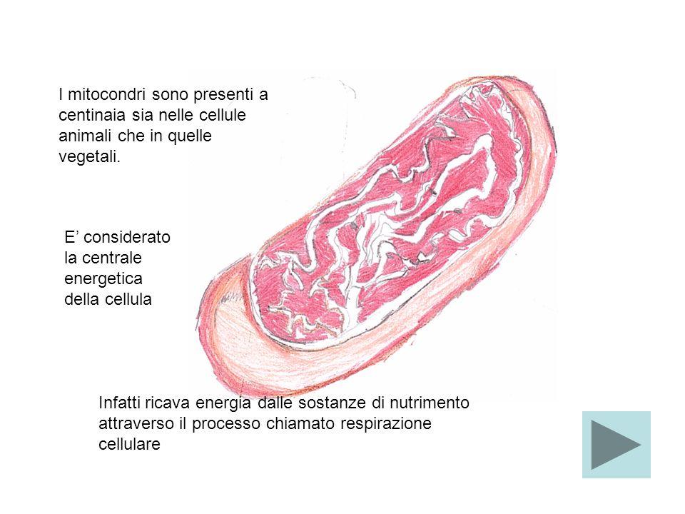I mitocondri sono presenti a centinaia sia nelle cellule animali che in quelle vegetali.