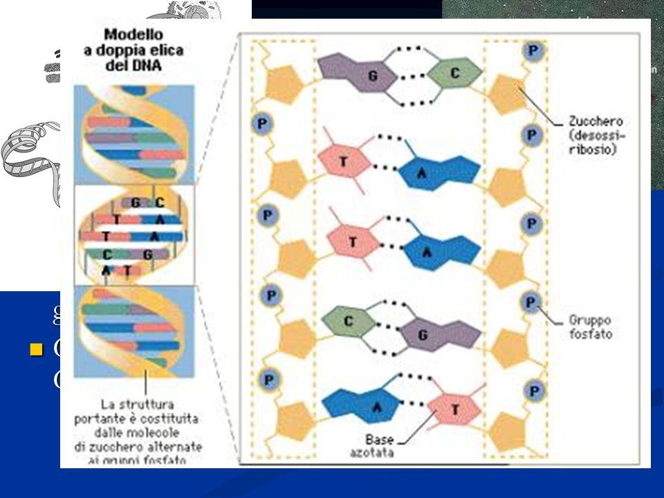 I cromosomi Quando la cromatina si avvolge da origine a strutture caratteristiche dette cromosomi.