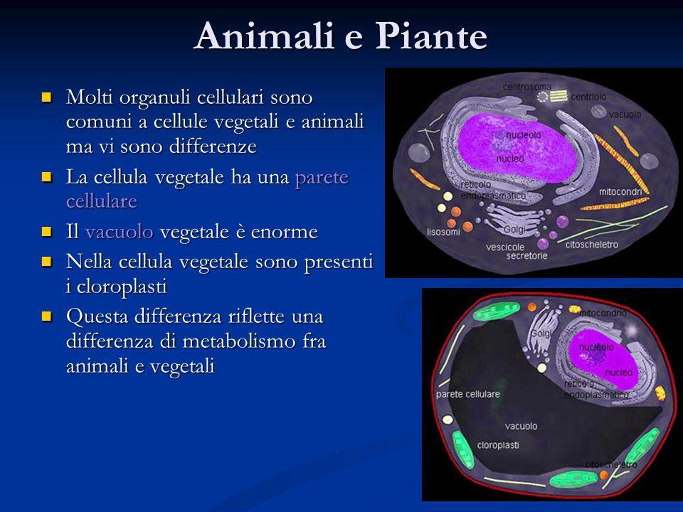 Animali e Piante Molti organuli cellulari sono comuni a cellule vegetali e animali ma vi sono differenze.