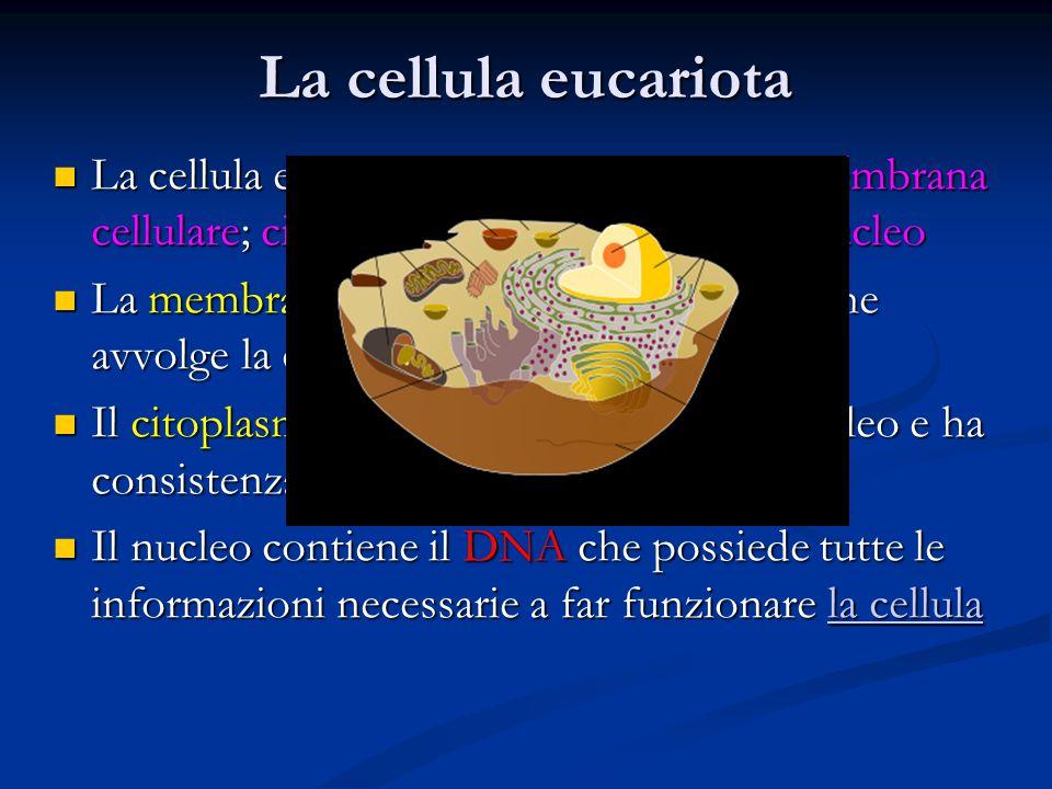 La cellula eucariota La cellula eucariote risulta suddivisa in membrana cellulare; citoplasma ricco di organuli e nucleo.